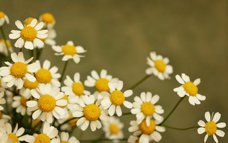 marguerite: Petites fleurs de marguerite sur fond vert