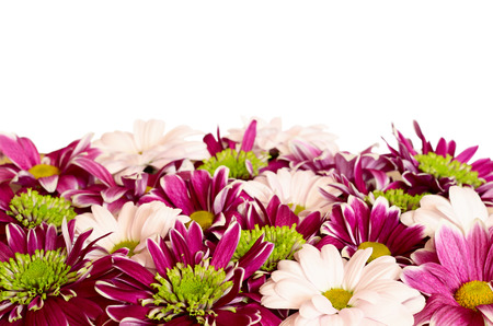 aster flowers: Aster flowers and chrysanthemum flowers for background isolated on white