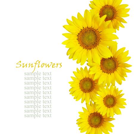 白で隔離 Sunflowes 配置