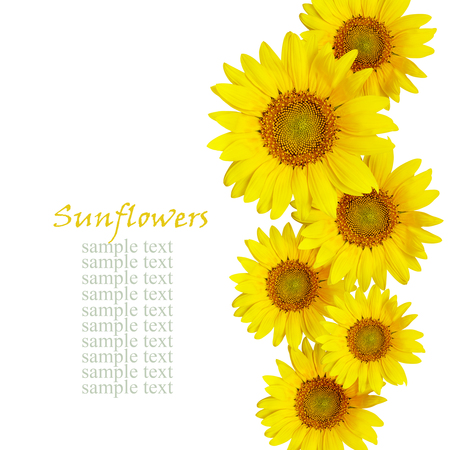 Disposizione sunflowes isolato su bianco Archivio Fotografico - 55395134