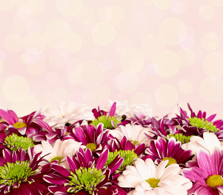 aster flowers: Aster flowers with chrysanthemum flowers on pink bokeh background