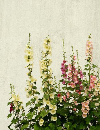 hollyhocks: Mallow flowers on a white plastered wall background