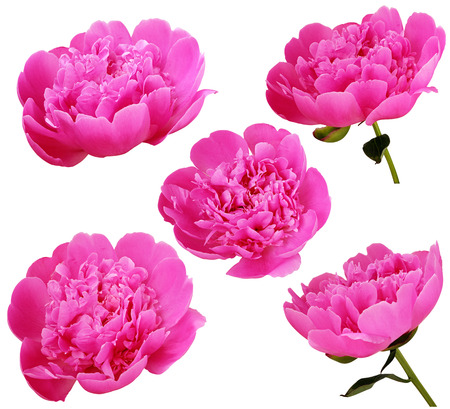 tender tenderness: Set of pink peony flowers isolated on white