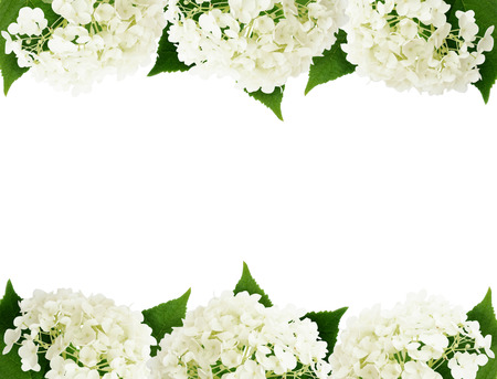 edges: White hydrangea flowers edges isolated on white