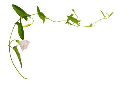 fleur de liseron et des feuilles isolées sur blanc Banque d'images