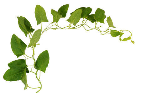 bindweed: Bindweed twig with green leaves isolated on white