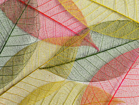 Mulberry leaves skeletons in autumn colors for background