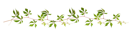 Parthenocissus twig with green leaves in a line arrangement isolated on white Stock Photo