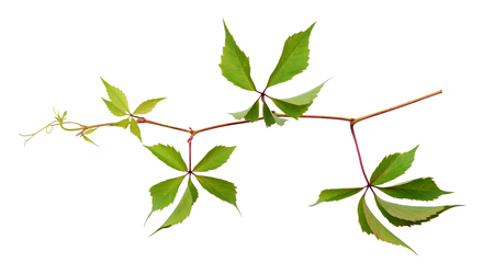 Parthenocissus twig with green leaves isolated on white