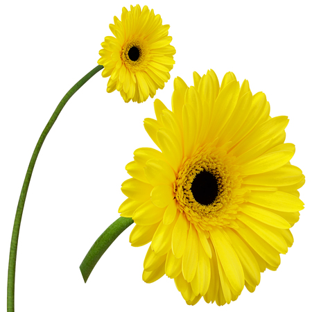 yellow gerbera isolated on: Yellow gerbera flowers isolated on white