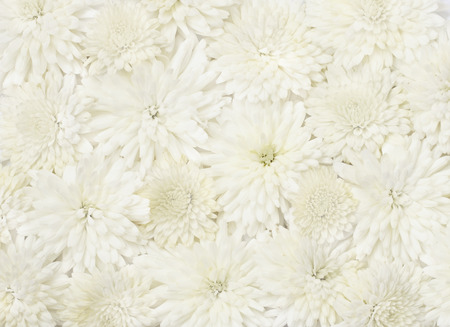 rotund: Beautiful white aster flowers for background