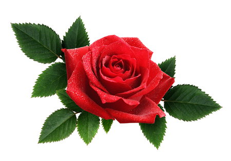Red rose flower and leaves arrangement isolated on white