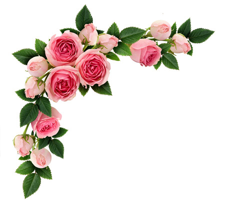 Roze roos bloemen en knoppen hoekopstelling geïsoleerd op wit. Plat, bovenaanzicht. Stockfoto