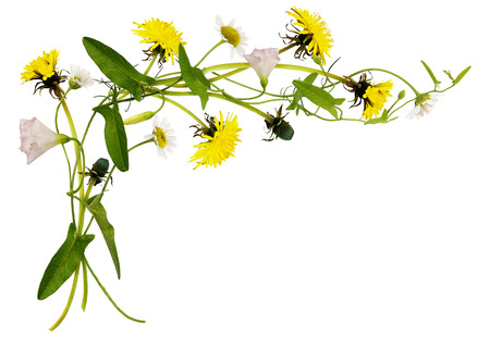 Bindweed, dandelion and daisy flowers and leaves in corner arrangement isolated on white