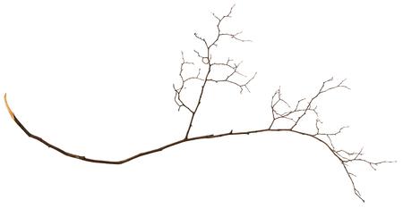 twig: Dry twig isolated on white Stock Photo