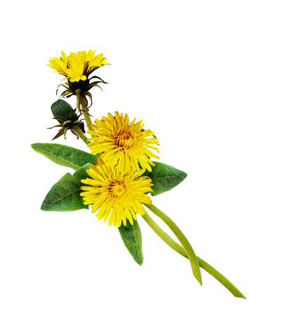 Dandelion flowers arrangement isolated on white. Flat lay. Top view Stock Photo