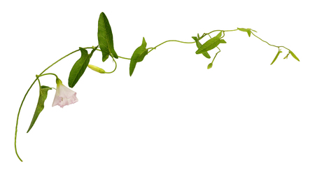 Bindweed twig with green leaves and pink flower isolated on white Stock Photo