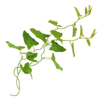 Bindweed sprigs with leaves isolated on white Stock Photo