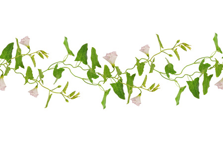 Bindweed flowers and leaves sprigs seamless pattern isolated on white