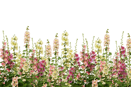Fresh pink and white mallow flowers border isolated on white Фото со стока