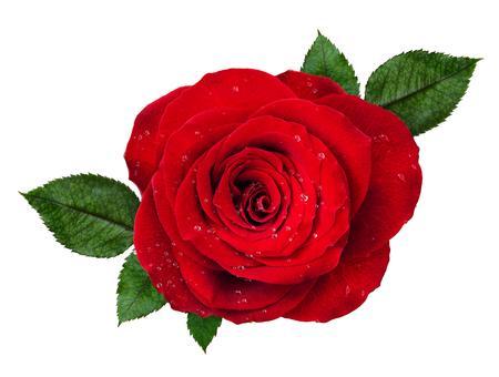 Rozeta czerwona róża z kropli wody i liści na białym tle. Widok z góry.