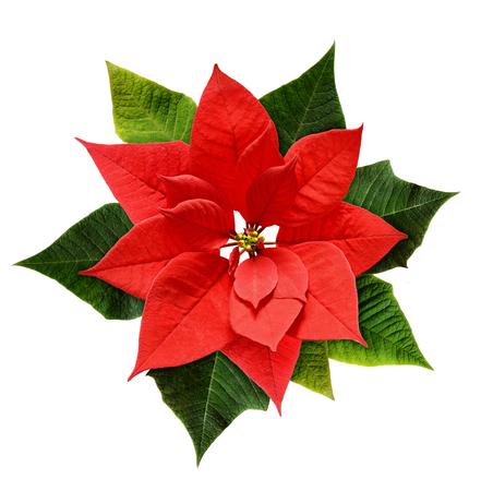 Red Christmas poinsettia flower isolated on white Banco de Imagens - 82075232