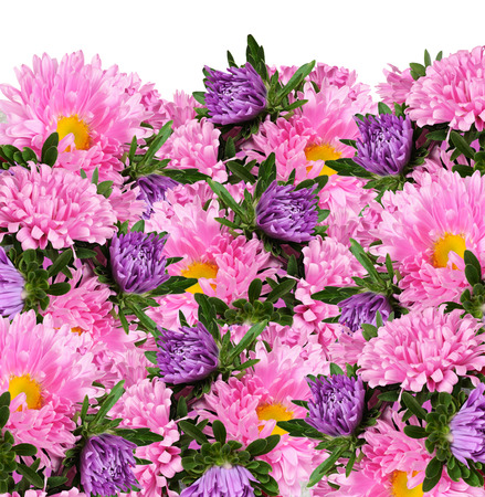 Pink and purple aster flowers for background
