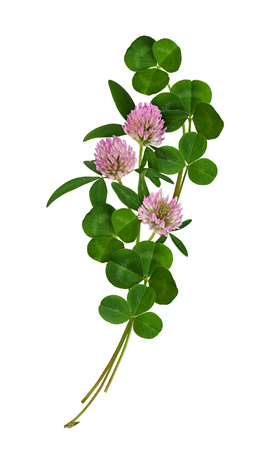 Fresh clover flowers and leaves arrangement isolated on white Stock Photo