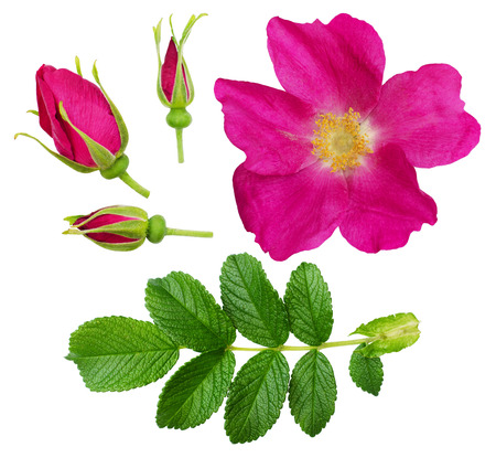 Set of wild rose flower, buds and leaves isolated on white