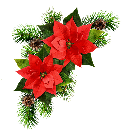 Red poinsettia flowers and Christmas tree branches isolated on white background. Holiday arrangement. Flat lay. Top view.