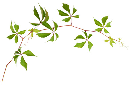 Wild grape twig with green leaves isolated on white