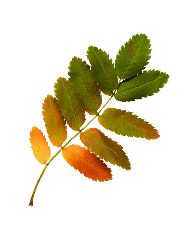 pit fall: Colorful autumn leaves of rowan-tree isolated on white