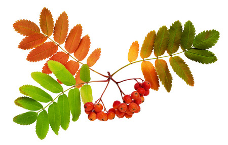 sorb: Autumn rowanberries and leaves isolated on white