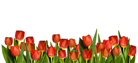 Red tulip flowers in decorative border isolated on white background Stock Photo
