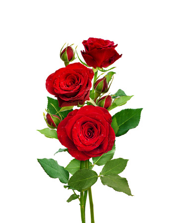 Bouquet of red roses isolated on white. Romantic flowers and buds.