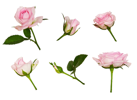 Set of pink rose flower and buds isolated on white