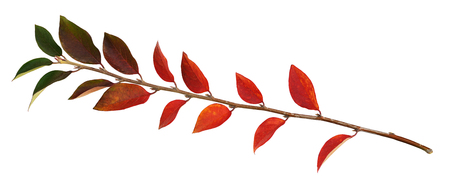 Twig of colorful autumn leaves isolated on white Stock Photo