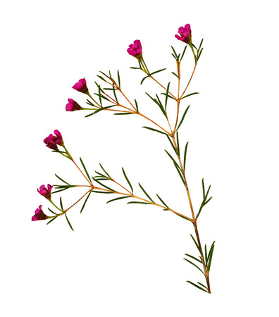 Chamelaucium flowers isolated on white
