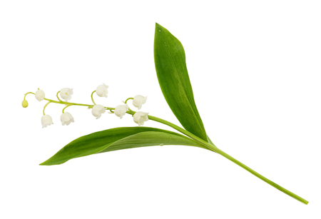 Closeup of lily of the valley flower isolated on white