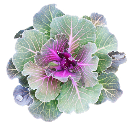 Chou ornemental isolé sur blanc. Chou décoratif. Brassica oleracea var. acephala. Banque d'images