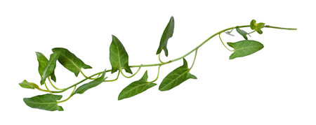 Twig of fresh bindweed with green leaves isolated on white Imagens