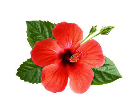 Hibiscus flower, green leaves and buds in floral tropical composition isolated on white