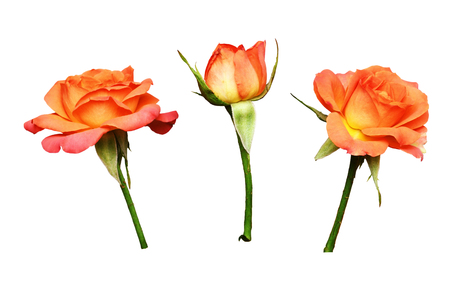 Set of orange rose flowers isolated on white Stock Photo