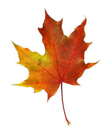 Primo piano della foglia di acero di autunno rorange isolata su white