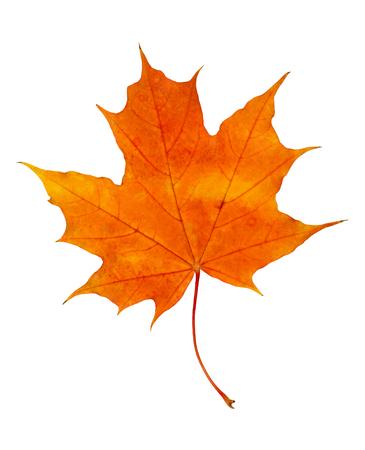 Closeup of rorange autumn maple leaf isolated on white