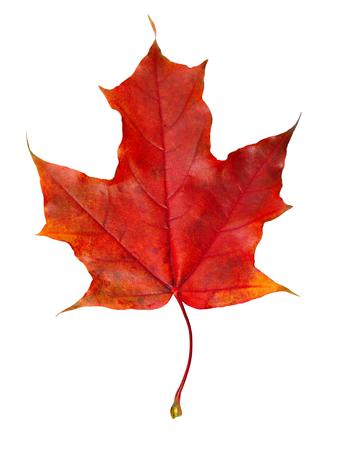 Nahaufnahme des bunten Herbstahornblattes lokalisiert auf Weiß