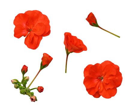 Set of red geranium flowers isolated on white