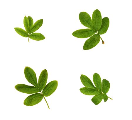 Set of small green leaves isolated on white