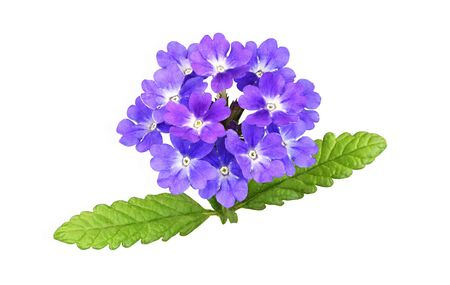 Purple verbena flowers and leaves isolated on white