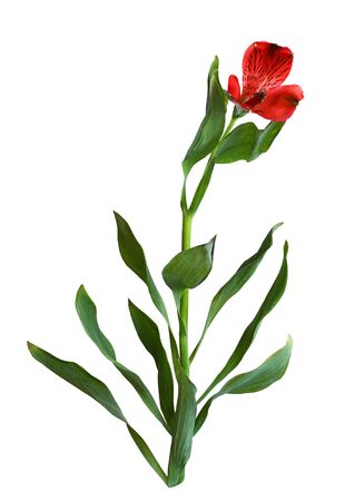 Red alstroemeria flower with green leaves isolated on white